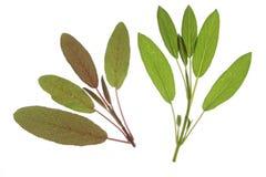 Purpur vis man (Salvia officinalispurpurascens) royaltyfri bild