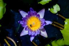 Purpur waterlilly insunshine Stockbilder