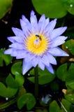 Purpur waterlilly insunshine Stockfoto