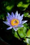 Purpur waterlilly insunshine Stockbild