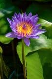 Purpur waterlilly insunshine Lizenzfreie Stockfotografie