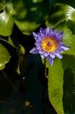 Purpur waterlilly insunshine Lizenzfreies Stockbild