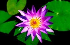 Purpur waterlily Stockbilder