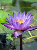 Purpur waterlily in der Blüte Stockfotografie