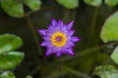 Purpur waterlily oder Lotosblume Stockbilder