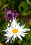 purpur white royaltyfri bild
