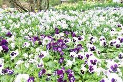 purpur white arkivbilder
