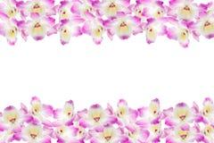 purpur white för bakgrundsorchid Fotografering för Bildbyråer
