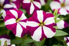 purpur white för blomma Royaltyfri Bild