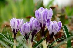 purpur white för krokusar Arkivbild
