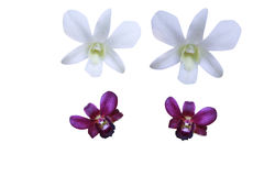 purpur white för orchid Royaltyfria Bilder