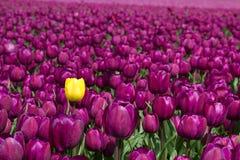purpur yellow Arkivfoto