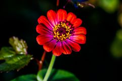 Purpur Zinnia Royaltyfri Bild