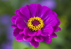 Purpur Zinnia Arkivbild