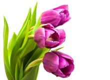 Purpura barwiący tulipanów kwiaty Obraz Royalty Free