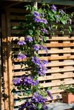 Purpura blommor Arkivbild