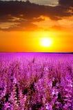 Purpura blommor Arkivfoto