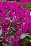 Purpura blommor Royaltyfria Bilder
