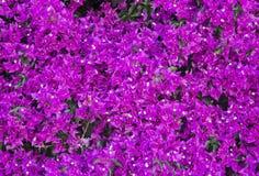 Purpura blommor Royaltyfri Bild