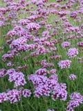 Purpura blommor Royaltyfri Foto