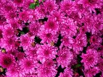 Purpura blommor Royaltyfri Fotografi
