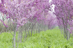 Purpura blommor Fotografering för Bildbyråer