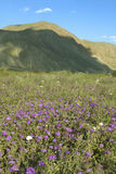 Purpura blommor blommar i fjäder Arkivbilder