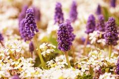 purpura blommor i trädgården Royaltyfria Bilder