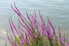 Purpura blommor nästan en flod Royaltyfri Fotografi