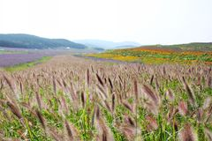 Purpura blommor och bittert fleabanegräs Royaltyfri Fotografi
