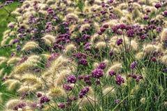 Purpura blommor på Green Arkivbild