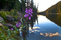 Purpura Columbine Royaltyfri Fotografi