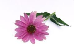 Purpura Coneflower 10 Arkivbilder