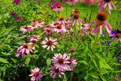 Purpura Coneflower Royaltyfri Foto