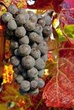 purpura druvor Arkivbilder