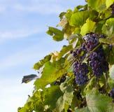 Purpura druvor på lövrik vine Fotografering för Bildbyråer