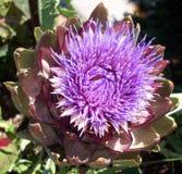 Purpura Gwożdżąca roślina Obrazy Stock