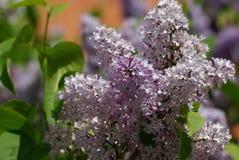 purpura härliga lilor Arkivbild