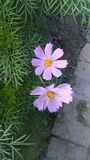 Purpura koloru trawy kwiat fotografia royalty free