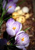 purpura krokusar Royaltyfri Foto