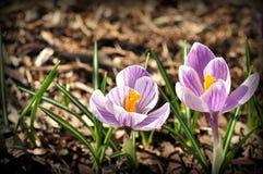 purpura krokusar Arkivbild