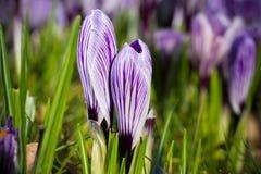purpura krokusar skyen för showen för växter för rörelse för den förfallna för fältet för blueoklarhetsdagen ligganden för fokuse Fotografering för Bildbyråer