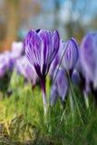 purpura krokusar skyen för showen för växter för rörelse för den förfallna för fältet för blueoklarhetsdagen ligganden för fokuse Royaltyfri Bild