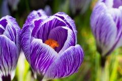 purpura krokusar skyen för showen för växter för rörelse för den förfallna för fältet för blueoklarhetsdagen ligganden för fokuse Royaltyfria Foton