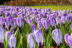 purpura krokusar skyen för showen för växter för rörelse för den förfallna för fältet för blueoklarhetsdagen ligganden för fokuse Arkivfoto