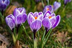 purpura krokusar skyen för showen för växter för rörelse för den förfallna för fältet för blueoklarhetsdagen ligganden för fokuse Royaltyfri Foto