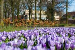 purpura krokusar skyen för showen för växter för rörelse för den förfallna för fältet för blueoklarhetsdagen ligganden för fokuse Arkivfoton