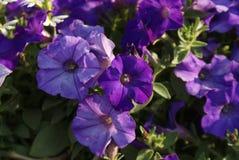 purpura kupor Arkivfoton