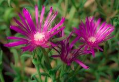 Purpura kwiat Zdjęcia Stock