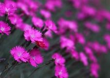 Purpura kwiat i czerwony kwiat Obraz Stock